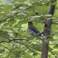 オオルリ♂幼鳥