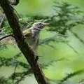 センダイムシクイ幼鳥?