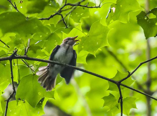 サンコウチョウ(幼鳥)