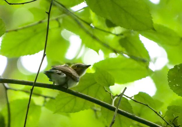 Photos: サンコウチョウ(幼鳥)