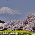 Photos: 2017年の桜と富士山
