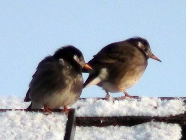 雪の朝のムクドリ