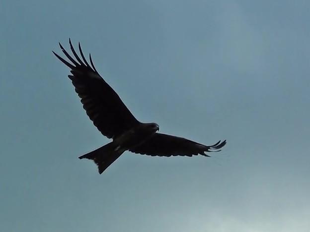 鳶の低空飛行