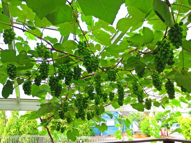 葡萄のグリーンカーテン