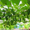 Photos: 葡萄のグリーンカーテン