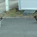 写真: 家猫VS野良猫