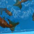 写真: 金魚とメダカ