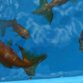 Photos: 金魚とメダカ