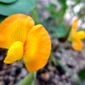 ピーナッツの花