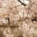 Photos: Cherry Blossom 6