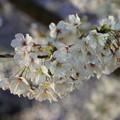 Ilminated Cherry Blossom 1