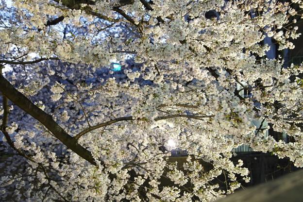 Photos: Ilminated Cherry Blossom 2