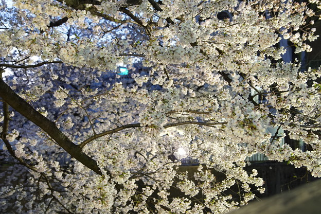 Photos: Ilminated Cherry Blossom 2