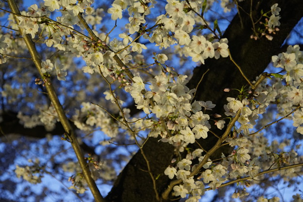 Photos: Ilminated Cherry Blossom 3