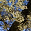 Ilminated Cherry Blossom 3