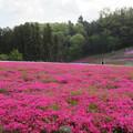写真: 17.04.25.羊山公園 (秩父市)芝桜の丘