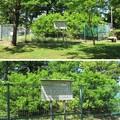 駿府城(葵区。静岡市営 駿府城公園)家康手植えミカン