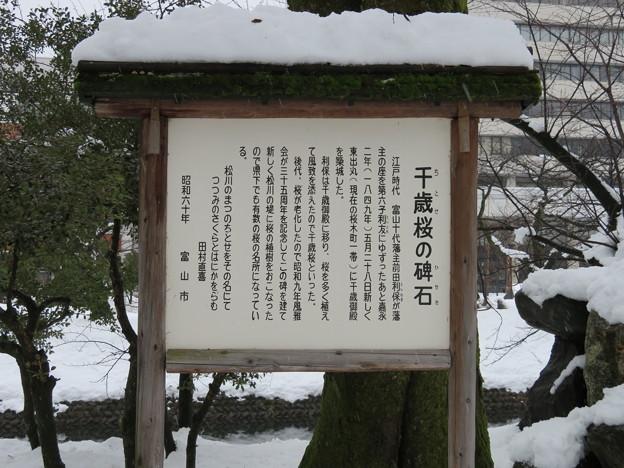 富山城(市営富山城址公園)千歳桜と碑石