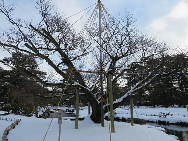 兼六園(金沢市)旭桜
