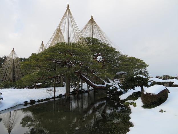 兼六園(金沢市)唐崎松