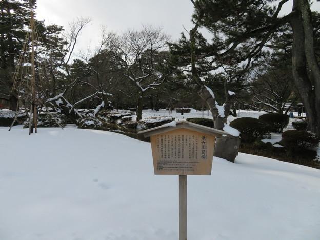 兼六園(金沢市)菊桜