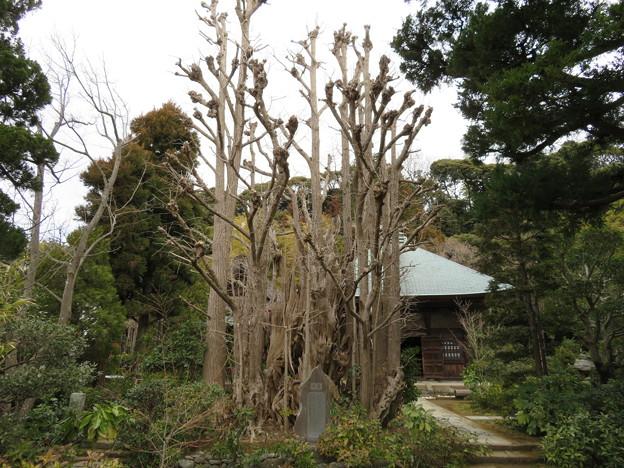 常楽寺(鎌倉市)銀杏