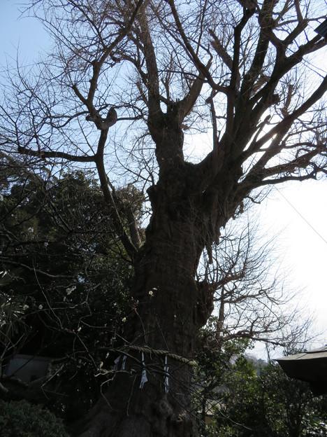 荏柄天神社(鎌倉市)御神木
