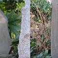 写真: 勝長寿院跡(鎌倉市)源義朝・鎌田政清墓