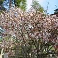 写真: 18.04.23.高野山壇上伽藍(高野町)対面桜