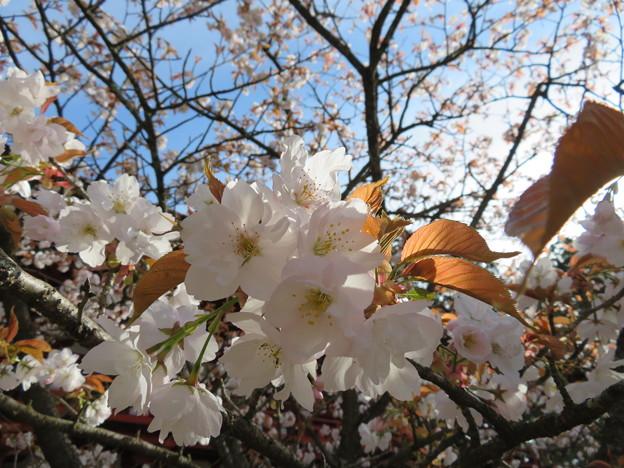 18.04.23.高野山壇上伽藍(高野町)対面桜