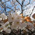 Photos: 18.04.23.高野山壇上伽藍(高野町)対面桜