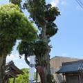 写真: 関ヶ原合戦 福島正則陣跡(関ケ原町)月見 宮大杉
