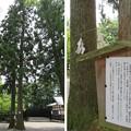 Photos: 雄山神社 前立社殿(立山町岩峅寺1)夫婦杉