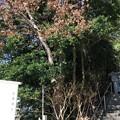 写真: 白幡神社(藤沢市)弁慶松?