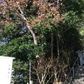 Photos: 白幡神社(藤沢市)弁慶松?