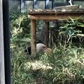 Photos: 上野動物園(台東区上野公園)ジャイアントパンダ