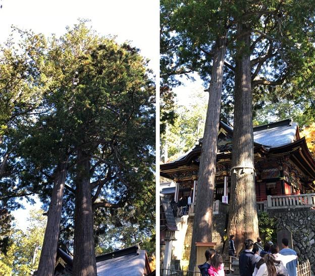 三峯神社(秩父市)神木