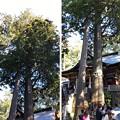 Photos: 三峯神社(秩父市)神木
