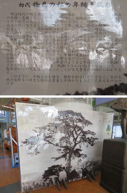 伊東市役所内(静岡県)初代物見の松写真