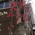 Photos: 19.03.25.小野照崎神社(下谷)紅梅