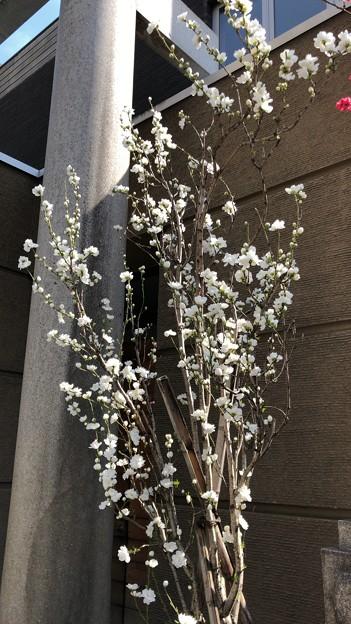 19.03.25.小野照崎神社(下谷)桃