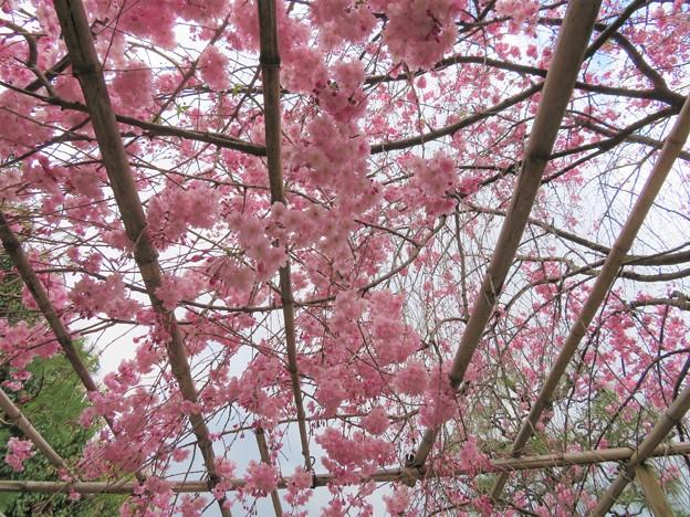 Photos: 19.04.08.興聖寺(上京区)