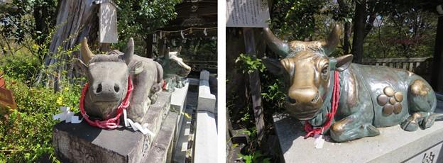 長岡天満宮(長岡京市)神牛像・臥牛像(撫で牛)