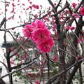 Photos: 12.03.08.牛宝山明王院最勝寺 目黄不動尊(江戸川区)