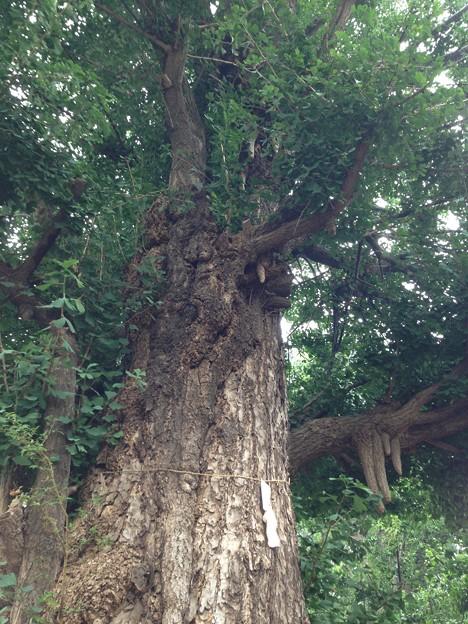 鳩森八幡神社(千駄ヶ谷八幡神社。渋谷区)御神木