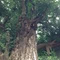 Photos: 鳩森八幡神社(千駄ヶ谷八幡神社。渋谷区)御神木