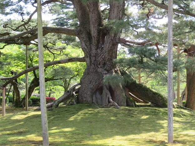 Photos: 兼六園(金沢市)根上松
