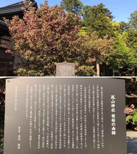 尾山神社(金沢市)菊桜