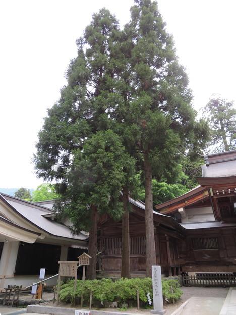 白山比咩神社(白山市)御神木(三本杉))