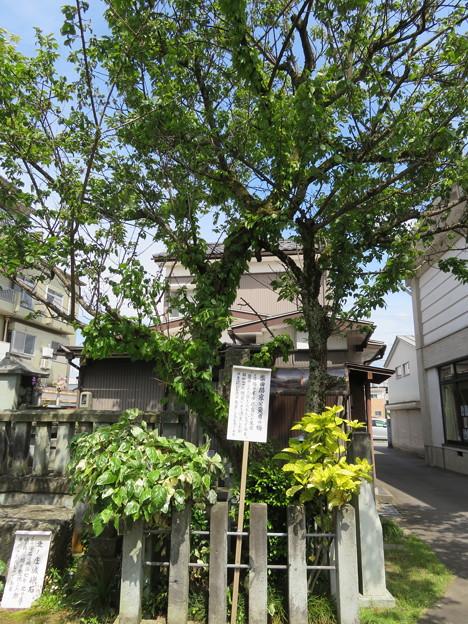 Photos: 西光寺(福井市)柴田勝家公愛用の梅